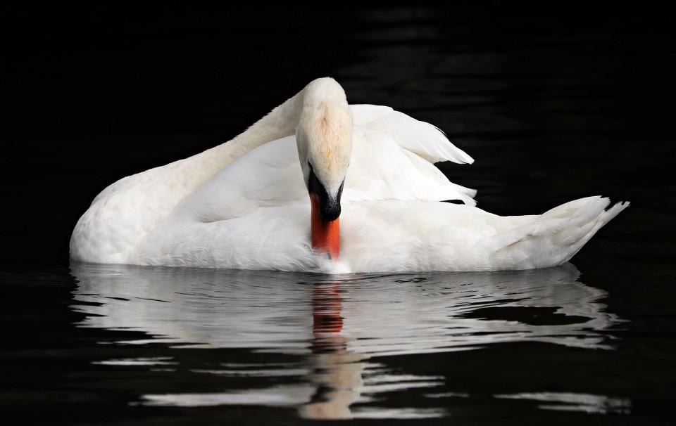 swan looking at reflection