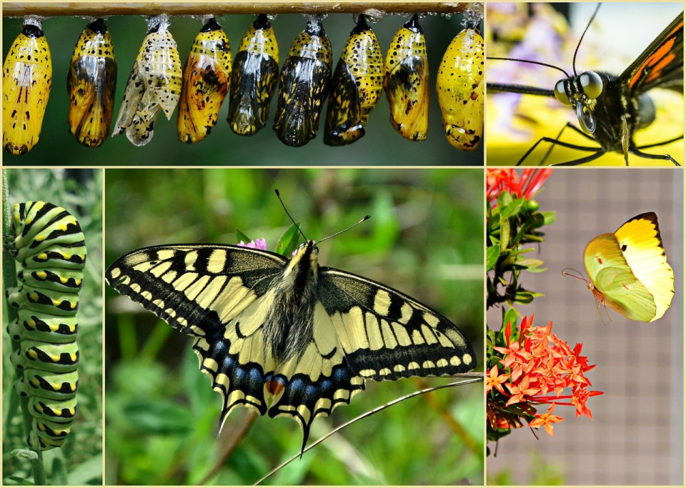 photo collage of catepillar, crysalises and butterflies Image by skeeze from Pixabay