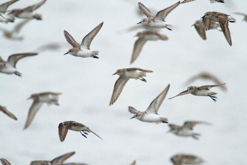 color photo of white sky with 16 birds in flight, with white bellies and long beaks, most flying right to left and a few flying left to right