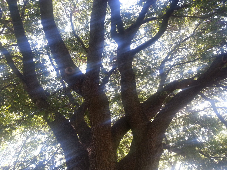 blurred photo of large tree looking up at six large limbs with smaller brances coming off them and clusters of green leaves along the smaller branches and streaks of light sky behind