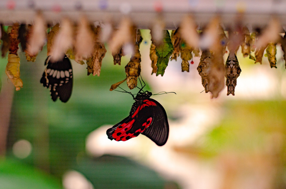 color photo of 12 greenish or blackish butterflies emerging upside down from chrysalises, a dozen blurred chrysalises in the foreground and a large red and glack butterfly with opened wings in the center